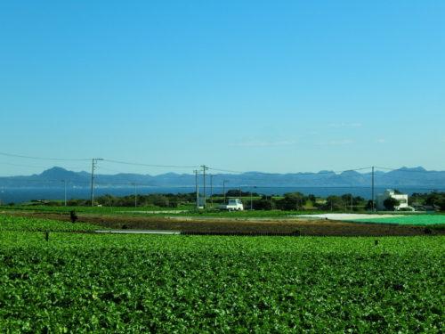 三浦半島の大根畑