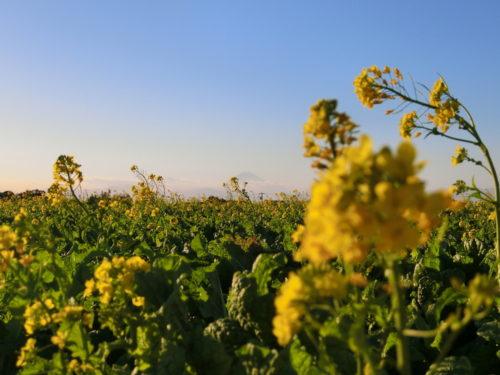 ソレイユの丘富士山&菜の花